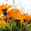 Thumbnail image for Cape West Coast Wild Flower Season
