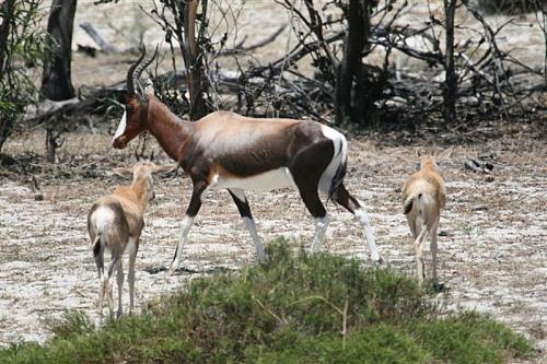 Blesbok with lambs spotted in nature reserve at Draaihoek Lodge.