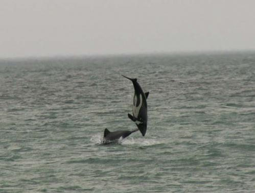 Playful dolphins at Draaihoek Lodge.